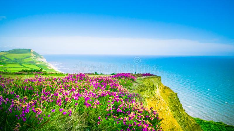 Blooming purple flower at Golden Cap on Jurassic coast in the UK resort place. English summer holidays countryside in the background with the blue sea / English stock images