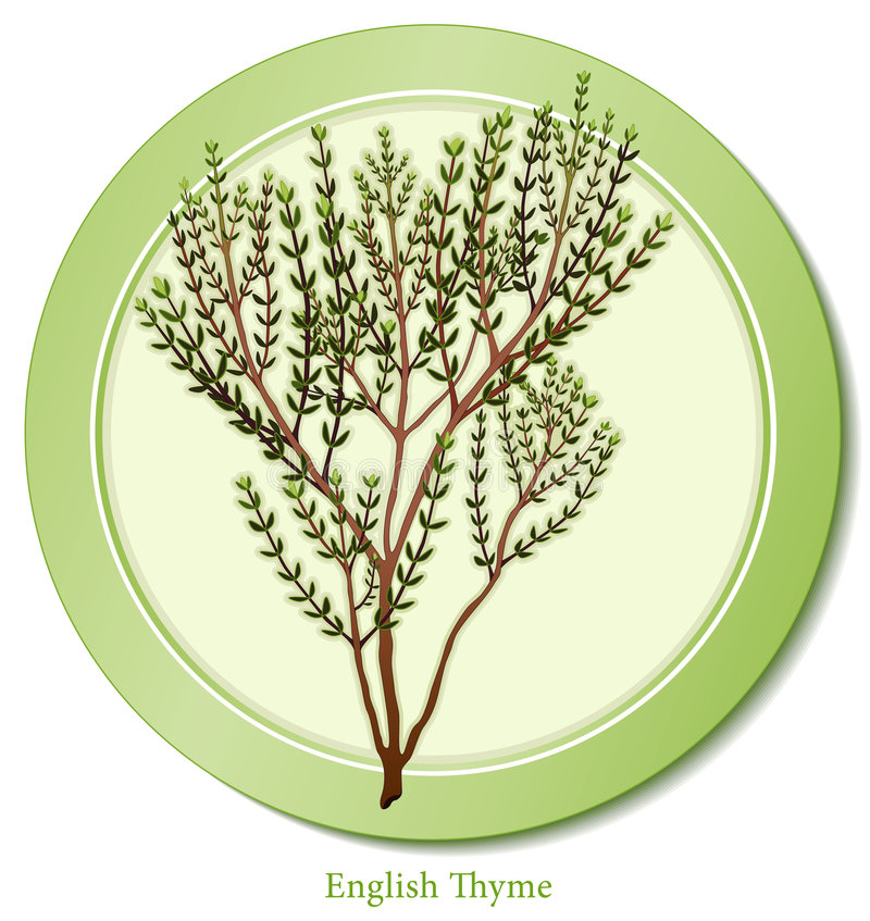 Download English Thyme Herb stock vector. Image of blends, cuisine - 8263710