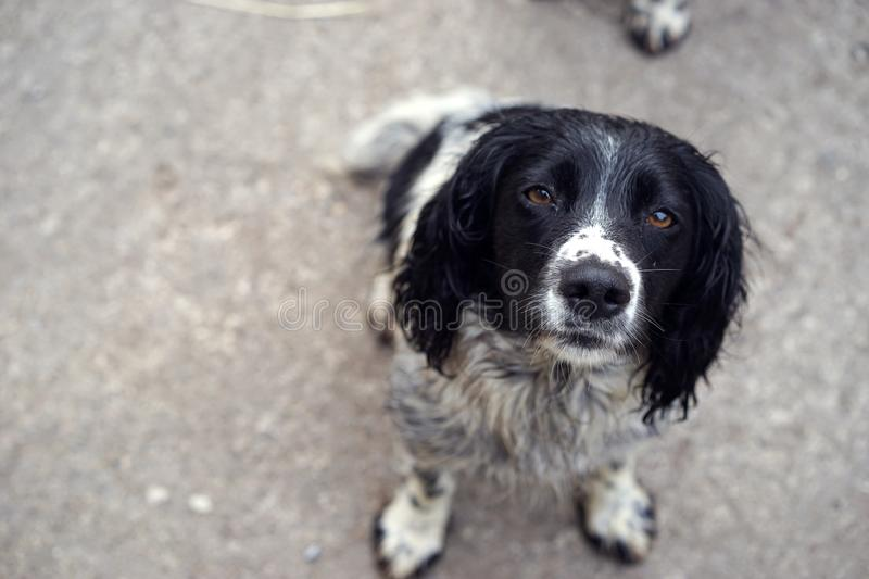 A spaniel`s nose is a game retrieving asset. English and Welsh Springer spaniels are known as excellent hunting dogs. Their keen ability to smell comes from royalty free stock image