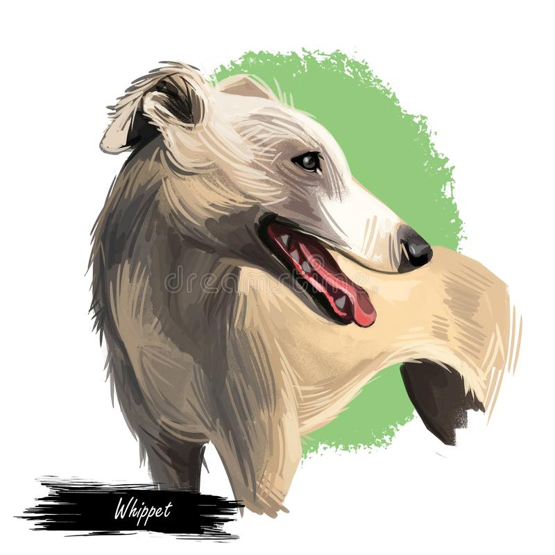 English Whippet or Snap dog breed portrait isolated on white. Digital art illustration, animal watercolor drawing of hand drawn stock illustration