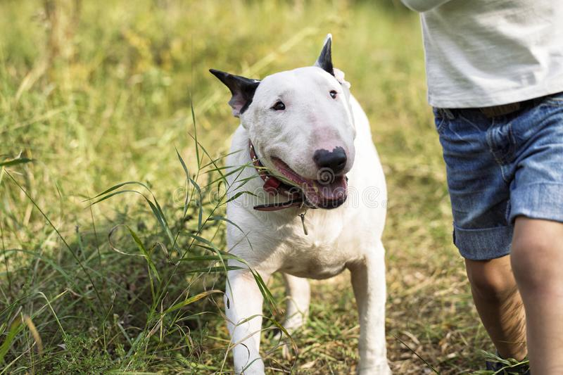 English white bull terrier and child. English white bull terrier and little boy playing together on the grass in the park royalty free stock photography