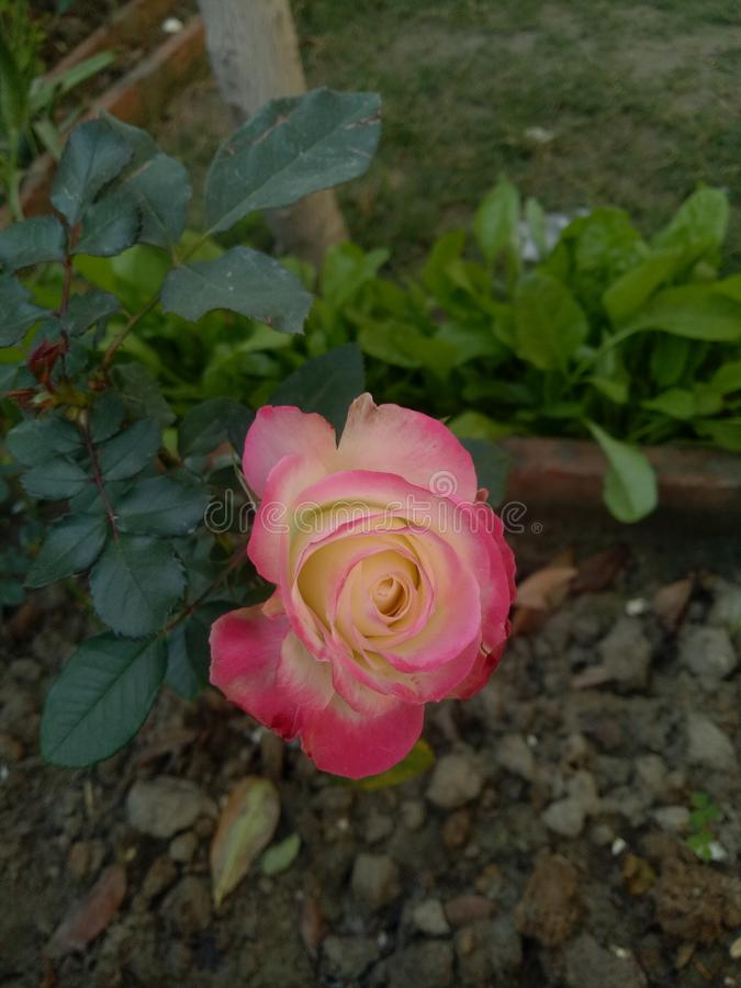 English White and pink Rose. Beautiful english white flower of my garden awesome click of beauty stock images