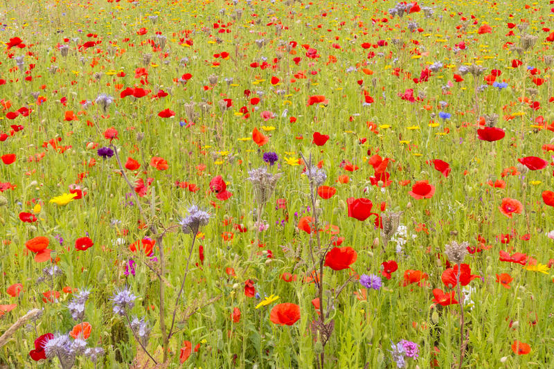 English Wildflower Meadow in Summer stock photos