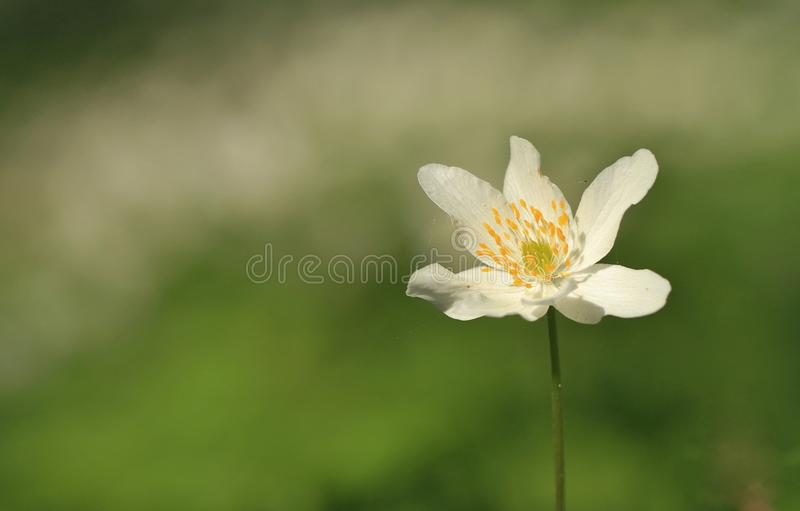 English wood anemone royalty free stock photos