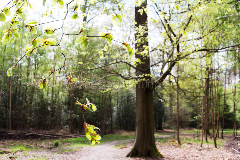 English woodland coming to life in spring. English woodland coming to life in the spring royalty free stock images