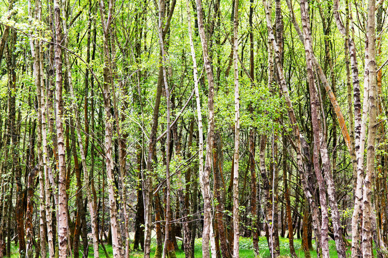English woodland coming to life in spring. English woodland coming to life in the spring stock photos