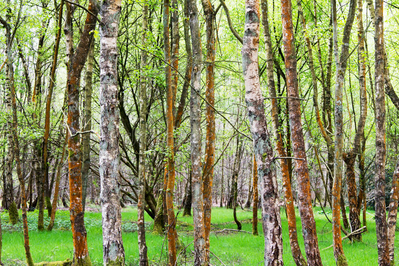 English woodland coming to life in spring. English woodland coming to life in the spring stock image