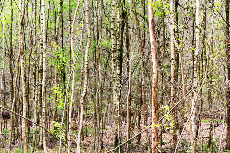English woodland coming to life in spring. English woodland coming to life in the spring royalty free stock photography
