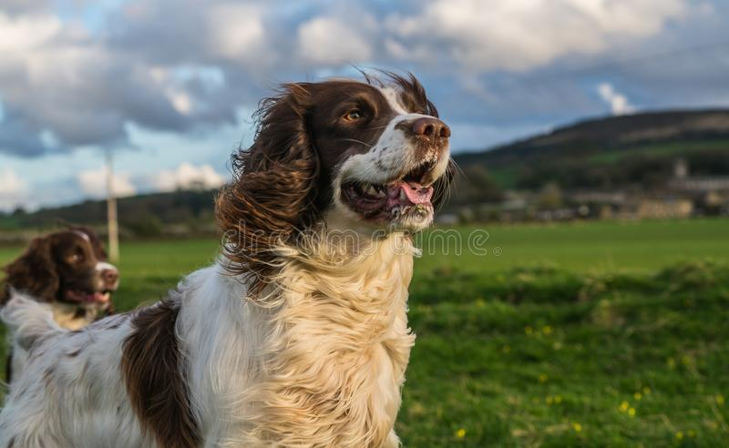 English Working Springer Spaniel.Dog.In Field royalty free stock photography