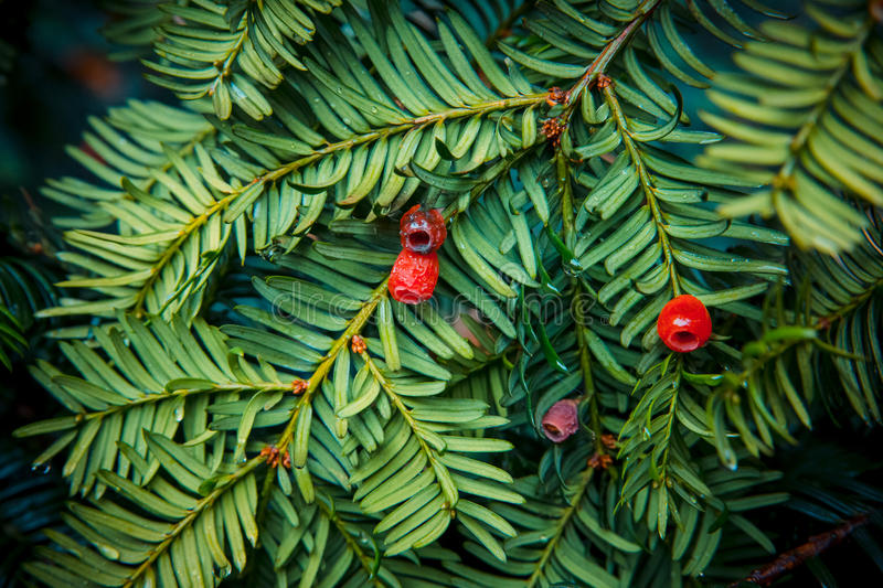 English yew with berries. A fragment of European yew tree with red berries royalty free stock image