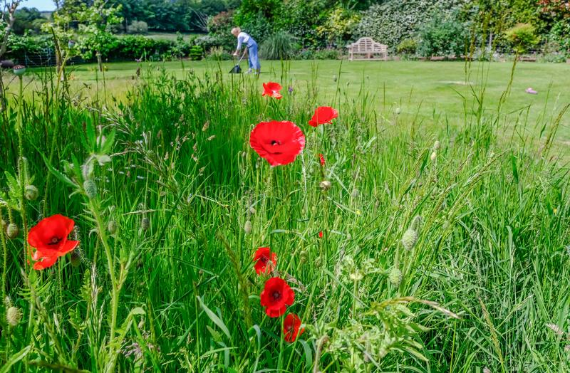 Englsish country garden in early summer with wild grass area and flowering poppies in the foreground. English country garden in early summer with wild grass area stock image