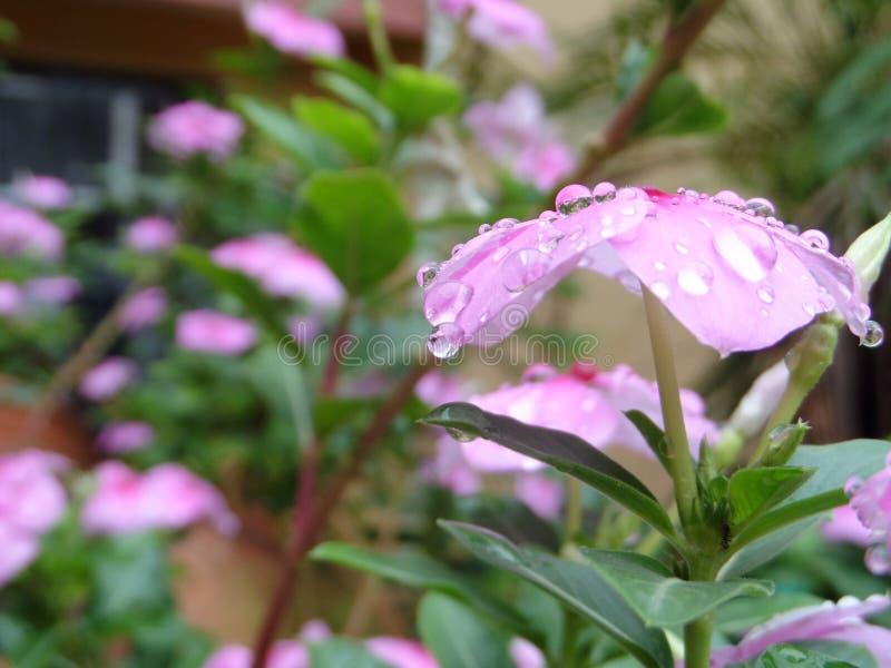 Engodo Rocio de Flor imagem de stock royalty free