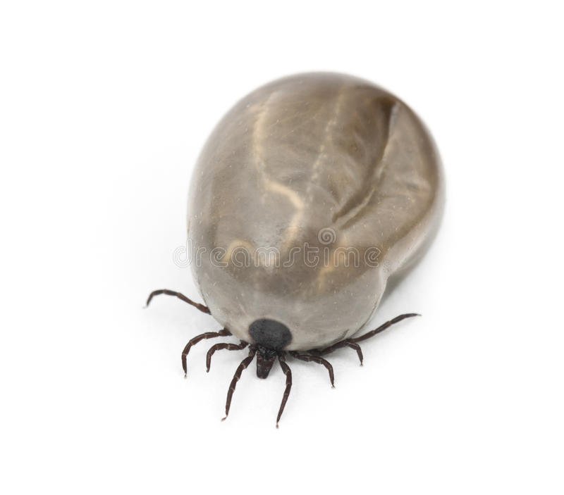Engorged Of Blood Castor Bean Tick Royalty Free Stock Image