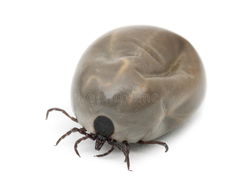 Engorged of blood Castor bean tick. Ixodes ricinus, a species of hard-bodied tick, against white background stock images