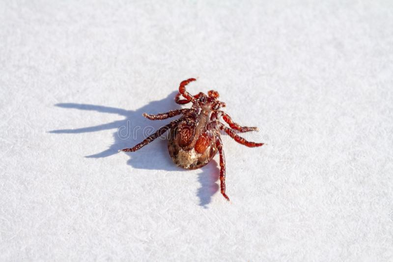 An engorged dead tick specimen lying on its back. On a plain white background royalty free stock photo