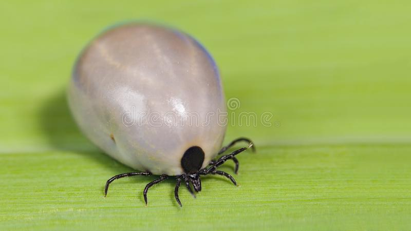 Engorged female deer tick. Ixodes ricinus. Dangerous mite on green leaf background. Acari. Bloated parasite with gray body full of blood on grass blade detail stock image