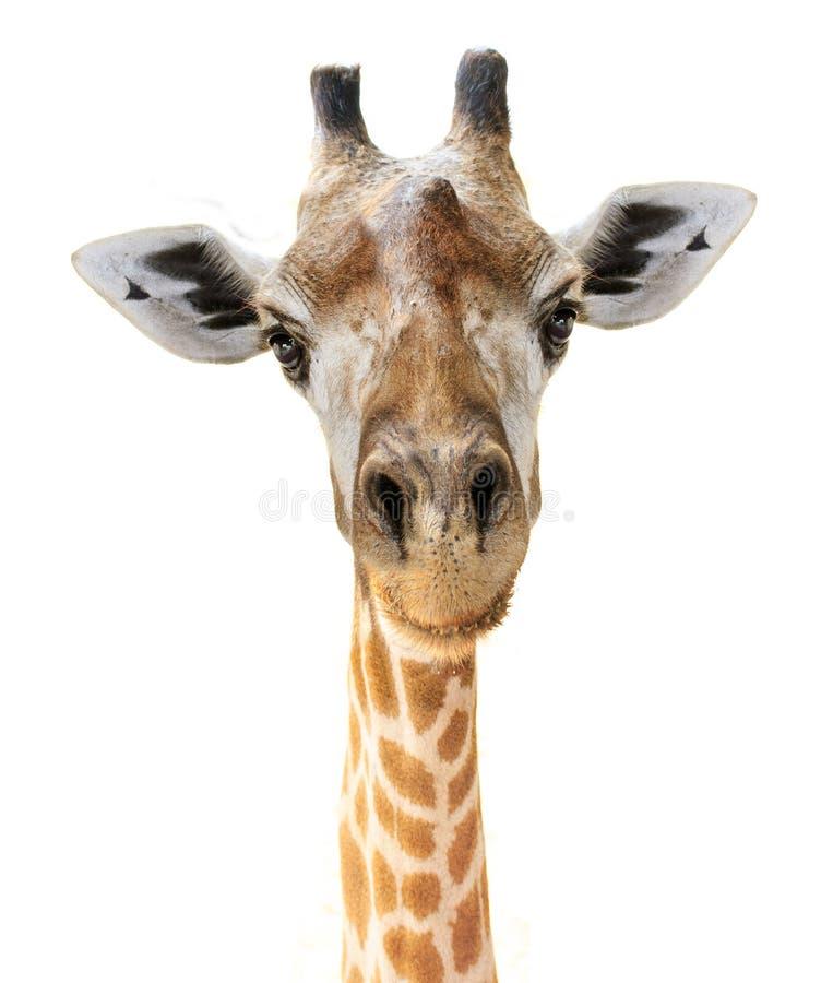 Olhar principal da cara do girafa engraçado foto de stock royalty free