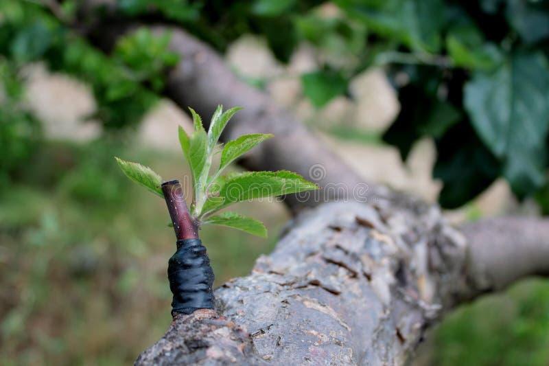 Engraftment dell'albero fotografie stock