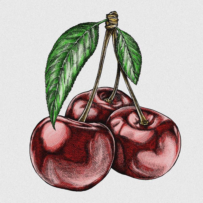 Engrave ha isolato l'illustrazione grafica disegnata a mano della ciliegia illustrazione vettoriale