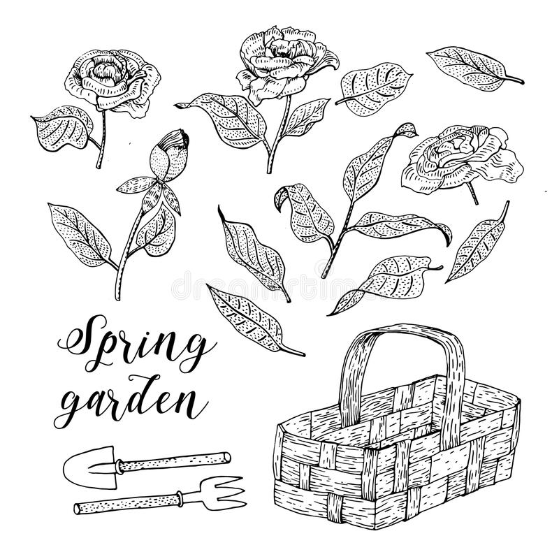 Engraved hand drawn illustrations of peonies and Wicker Basket. Flower buds, leaves, stems can be easily separated and royalty free illustration