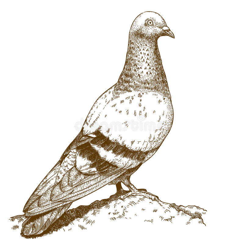Engraving antique illustration of dove vector illustration