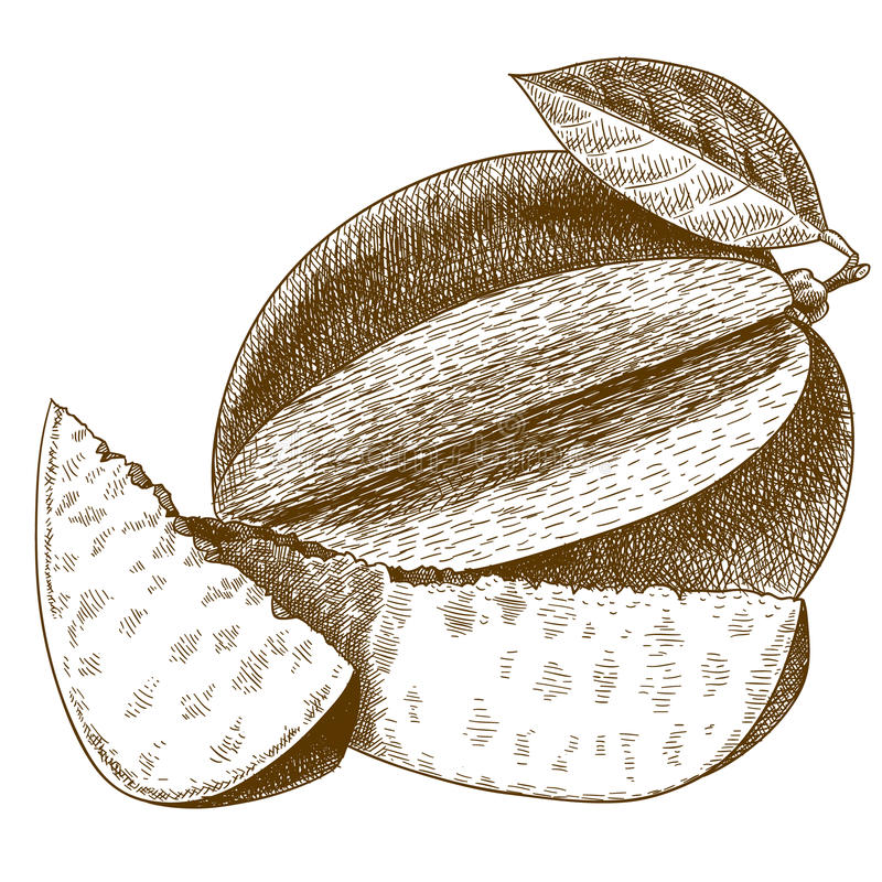 Engraving antique illustration of mango vector illustration