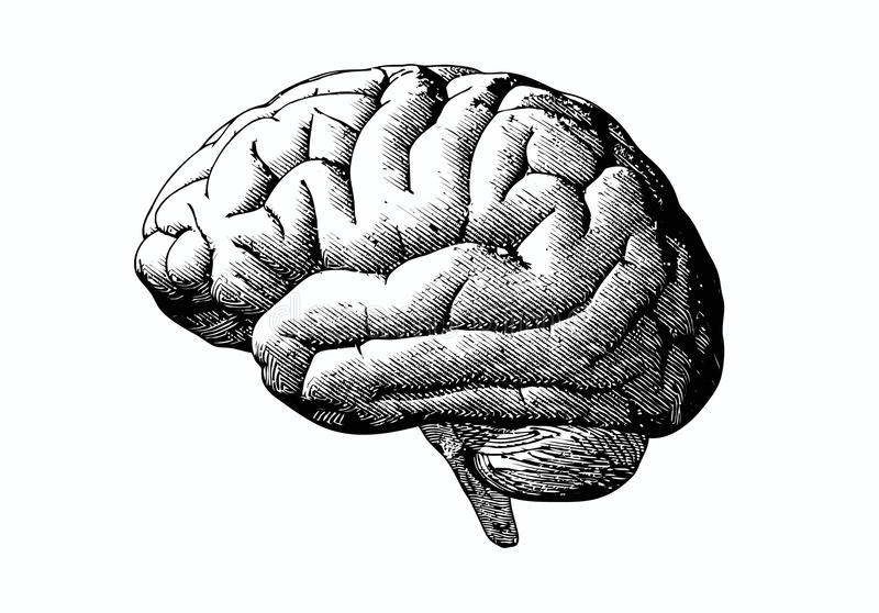 Engraving brain with black on white BG. Engraving brain illustration in grayscale monochrome color on white background stock illustration