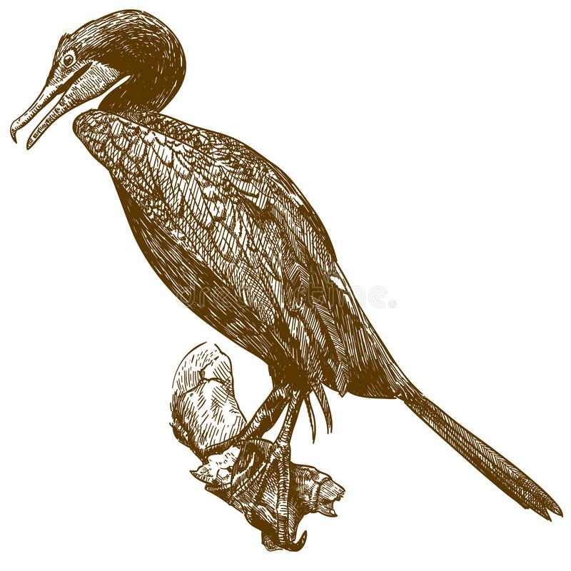 Engraving drawing illustration of cormorant. Vector antique engraving drawing illustration of cormorant isolated on white background vector illustration