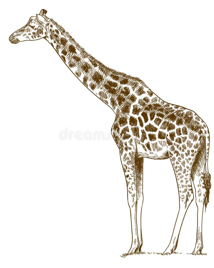Engraving drawing illustration of giraffe vector illustration