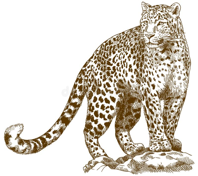 Engraving drawing illustration of leopard. Vector antique engraving drawing illustration of leopard isolated on white background stock illustration