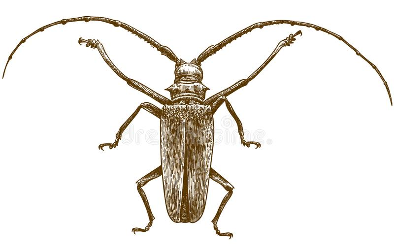 Engraving drawing illustration of longhorn beetles. Vector antique engraving drawing illustration of longhorn beetle on white background vector illustration