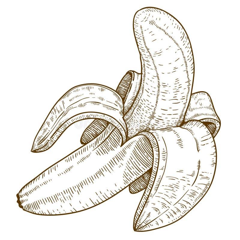 Engraving illustration of banana. Engraving vector illustration of banana on white background royalty free illustration
