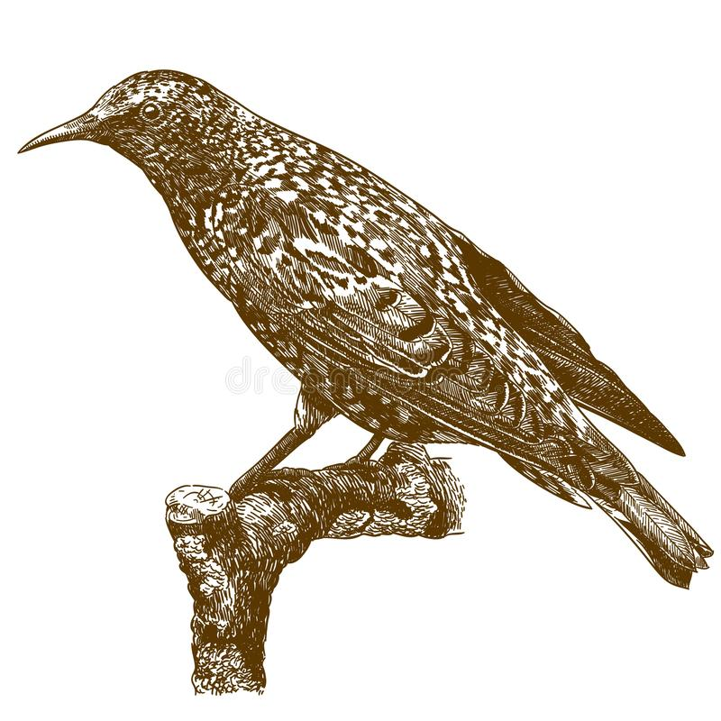 Engraving illustration of common starling royalty free illustration