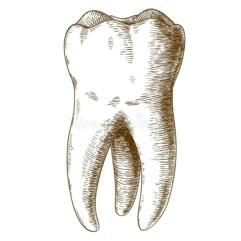 Engraving illustration of human tooth royalty free illustration