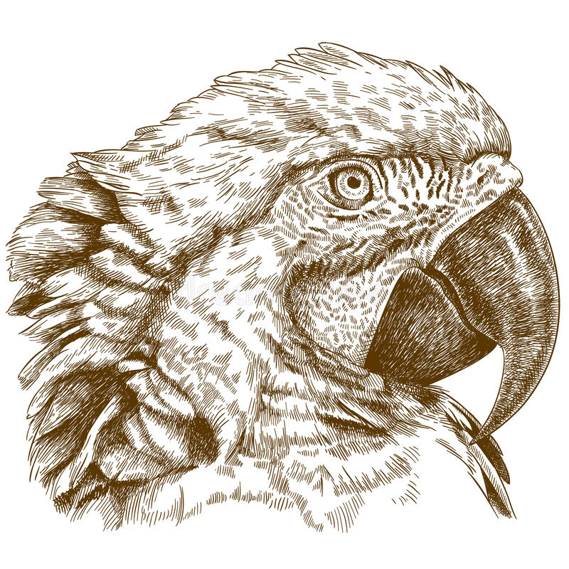 Engraving illustration of macaw head royalty free illustration