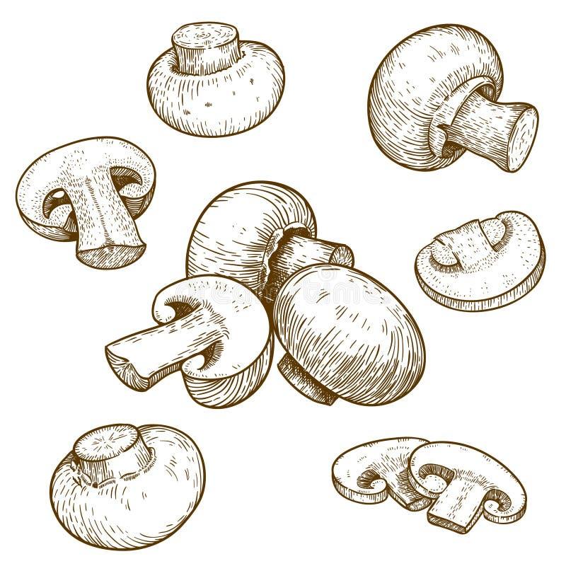 Engraving illustration of mushrooms champignons. Engraving vector illustration of mushrooms champignons on white background stock illustration