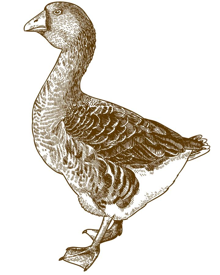 Free Engraving Illustration Of Domestic Goose Royalty Free Stock Photos - 153787068
