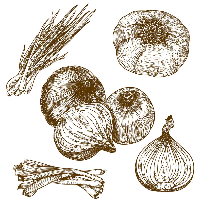 Engraving illustration of onions. Engraving vector illustration lots of onion on white background stock illustration