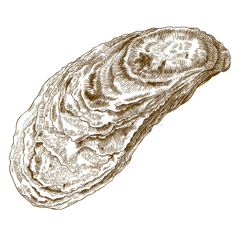 Engraving illustration of oyster shell. Vector engraving illustration of highly detailed hand drawn oyster shell isolated on white background vector illustration
