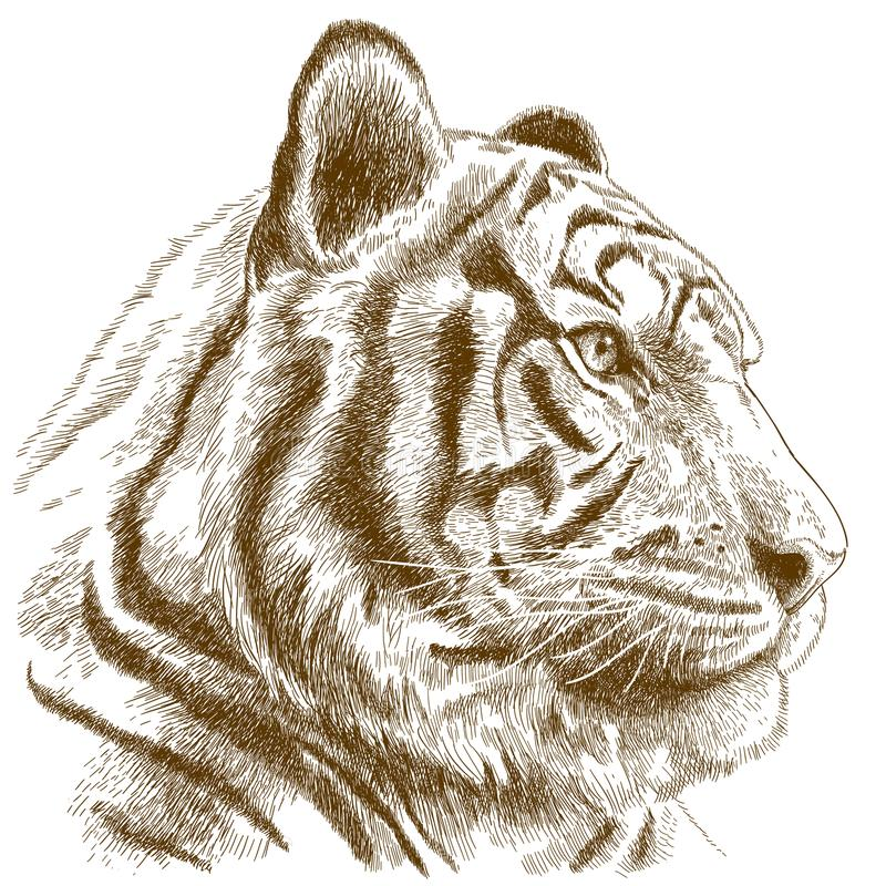 Engraving illustration of tiger head. Vector antique engraving illustration of tiger head isolated on white background stock illustration