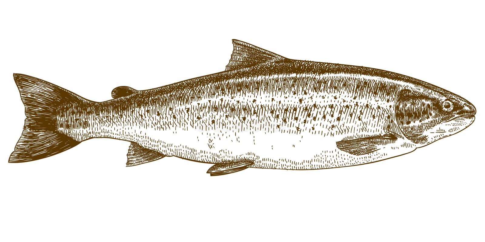 Engraving illustration of trout. Vector engraving illustration of highly detailed hand drawn trout isolated on white background stock illustration