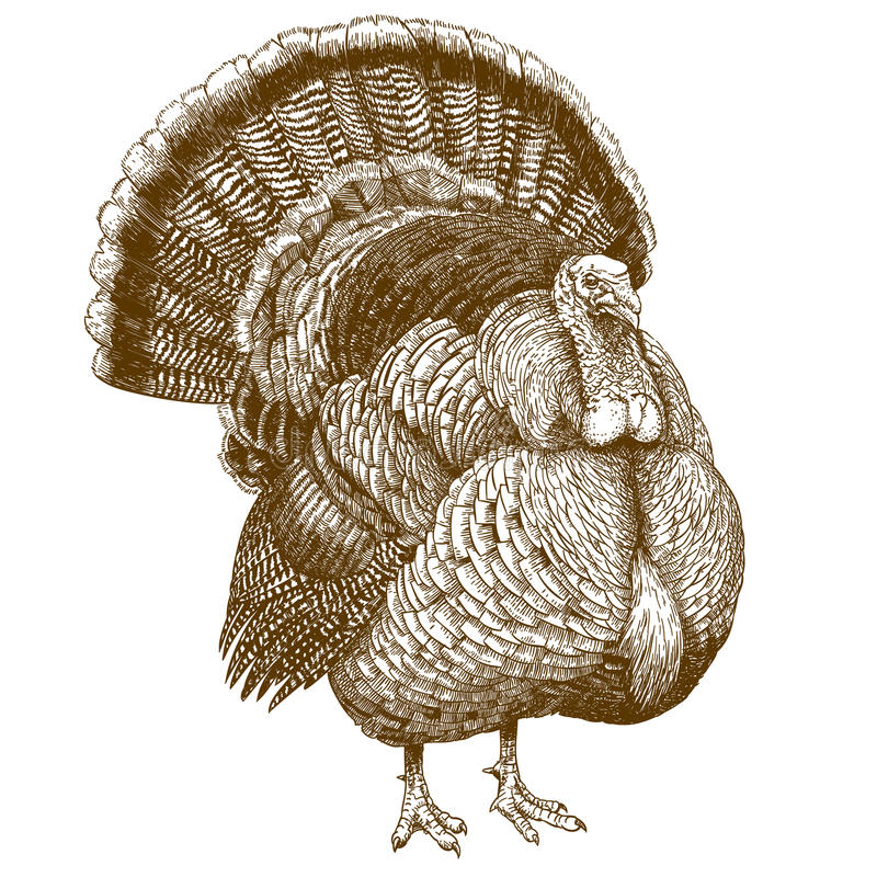 Engraving illustration of turkey vector illustration
