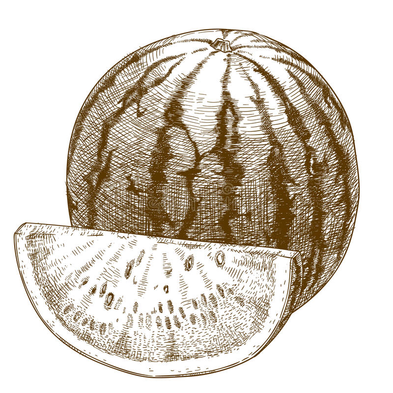 Engraving illustration of watermelon vector illustration