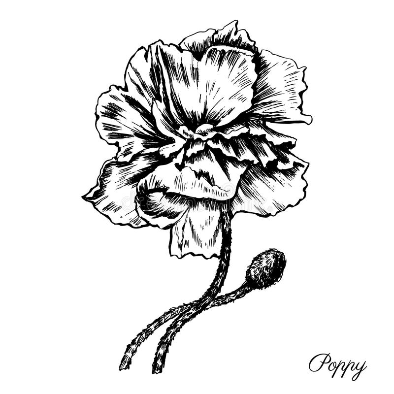 Engraving poppy flower decorative hand drawn sketch. Isolated on a white, vintage etching style, for beauty salon, wedding card, greeting invitation, florist stock illustration