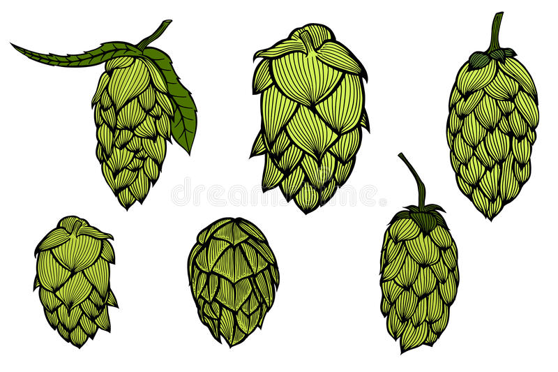 Engraving style Hops set. Colored Hand drawn engraving style Hops set. Common hop or Humulus lupulus branch with leaves and cones. Vector illustration vector illustration
