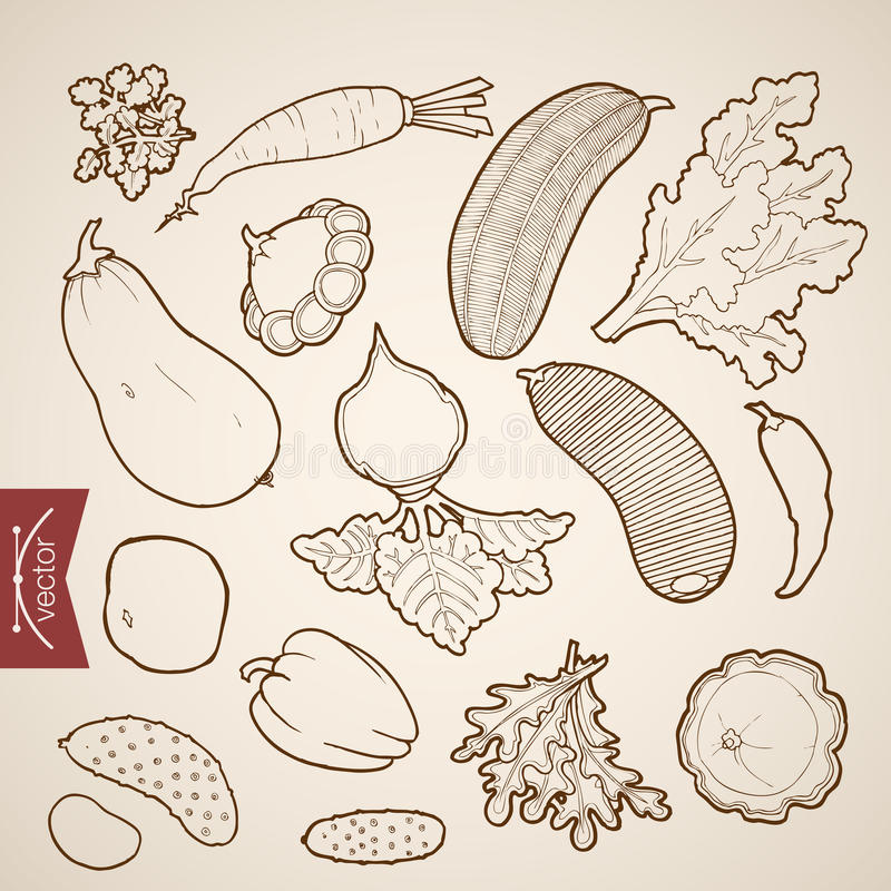 Engraving vintage hand drawn vector vegetable Penc royalty free illustration