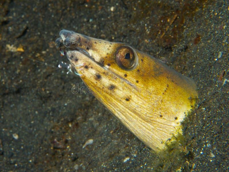 Enguia da serpente com camarão assistente do líquido de limpeza foto de stock royalty free