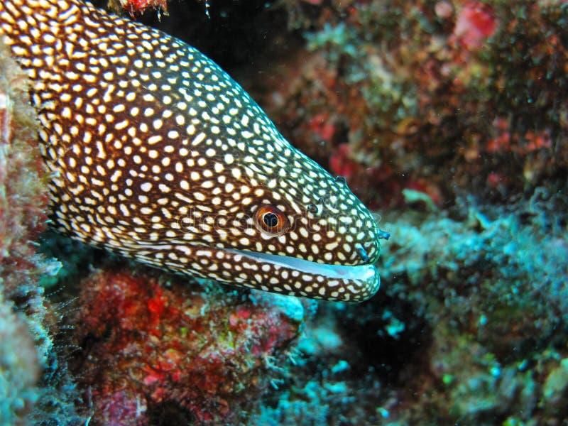Enguia de moray manchada recife de corais fotos de stock royalty free