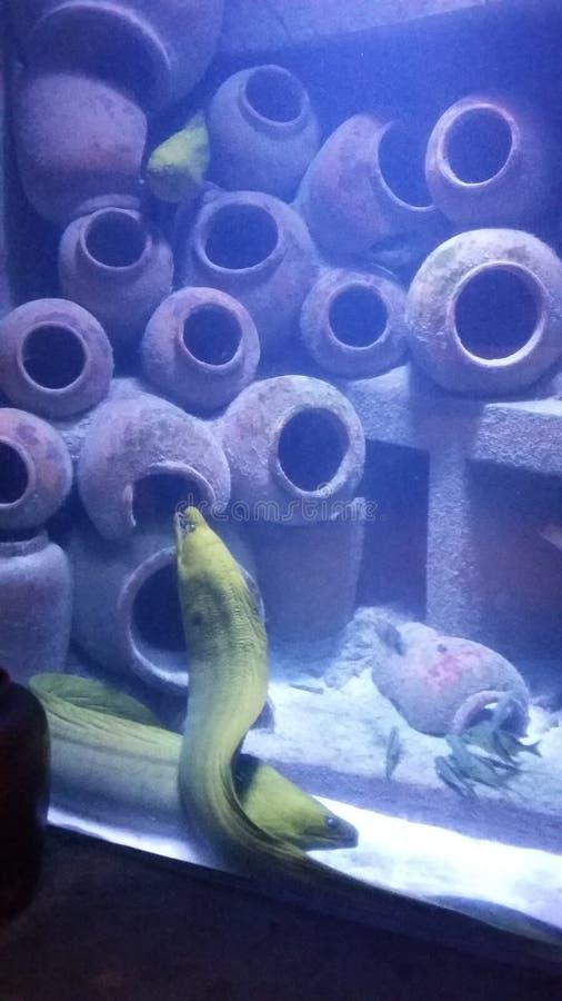 Enguia em Atlantis foto de stock royalty free
