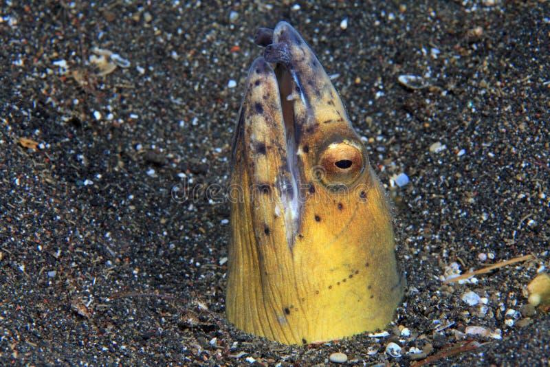 enguia Preto-finned da serpente imagens de stock